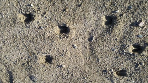 deer hoof marks in the sand