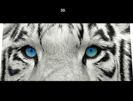 white siberian tiger for front windshield