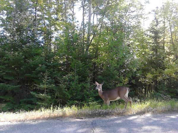 a deer by road
