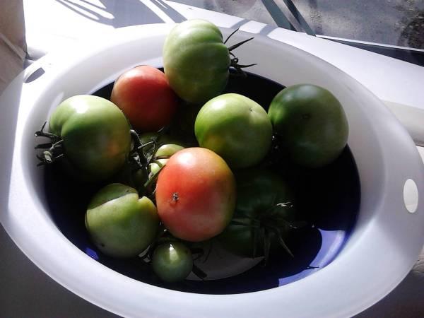 leaving tomatoes