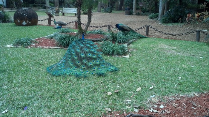 sa foy peacock blue