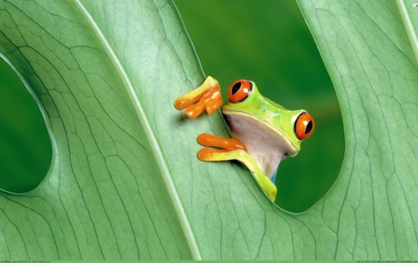 froggie looking out of leaf