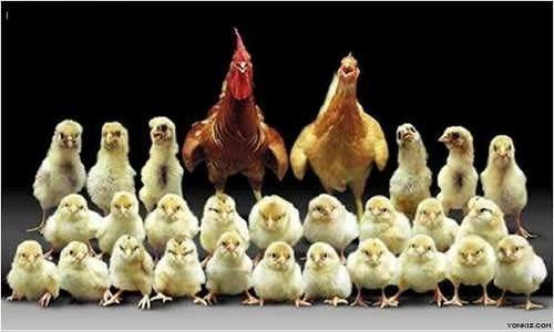 chicken family portrait