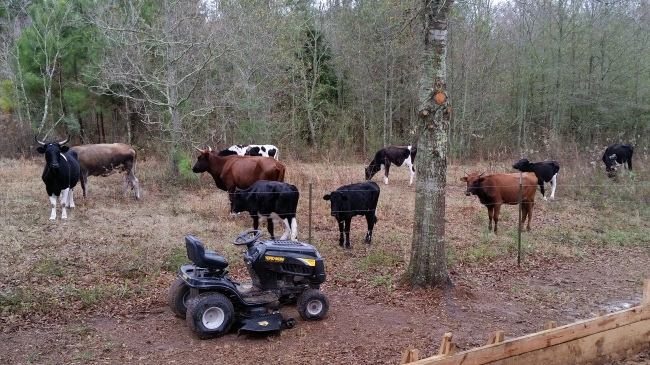 a cows