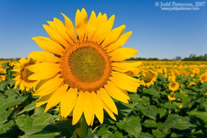 sunflower_1050