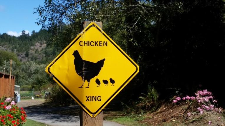 kk chickens (Medium)