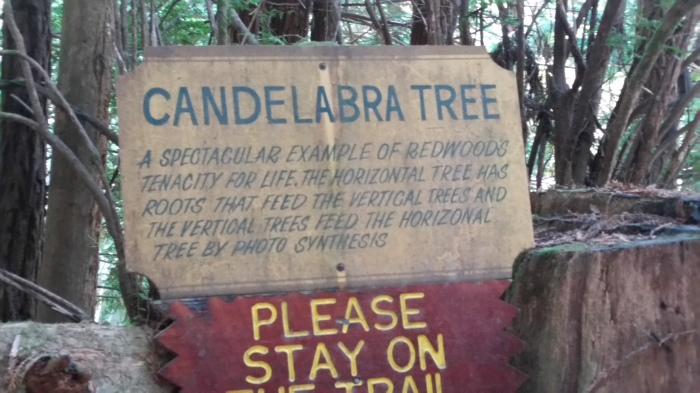 ttt 5 candelabra tree