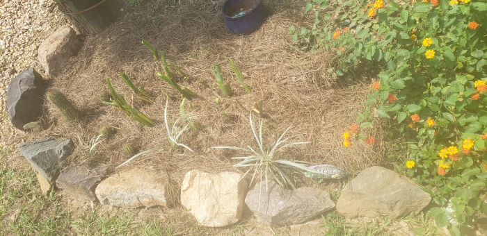 Cactus and Lily garden
