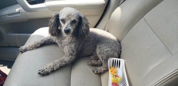 Buddy poodle