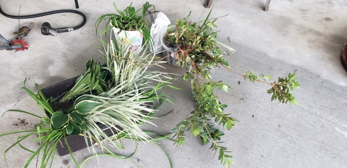 Plants from my gardens I am taking for my new house